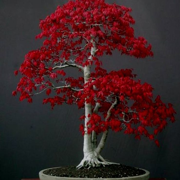 The Japanese Maple Bonsai Tree Is Great For Beginners Landscape